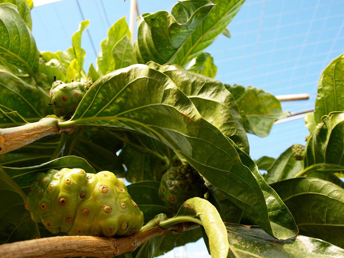 Noni ecológico cultivado y producido en España