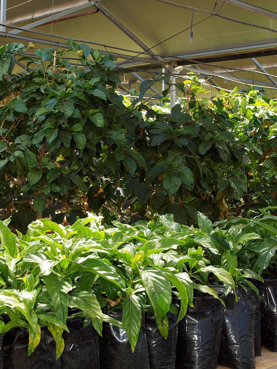 Plantones noni ecologico Brahmavitta